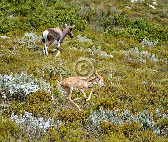 Bontebok Mother And Calf