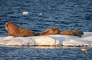 Walrus at Spitsbergen