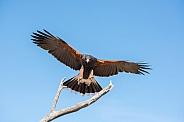 Harris's Hawk in Flight #4