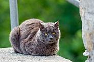 Ticinese Cat