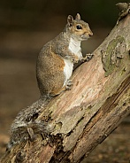 Grey Squirrel Posing on Tree Trunk
