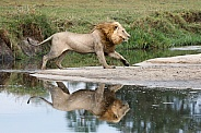 Lion running with reflection