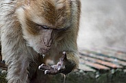 Drinking Berber Monkey