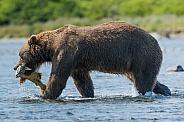 Wild Alaskan Brown Bear fishing