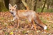 Red fox vulpes