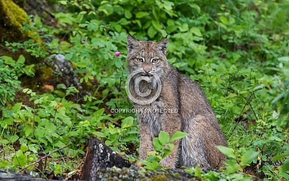 Juvenile Canada Lynx in Montana