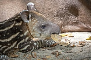 South American tapir (Tapirus terrestris)