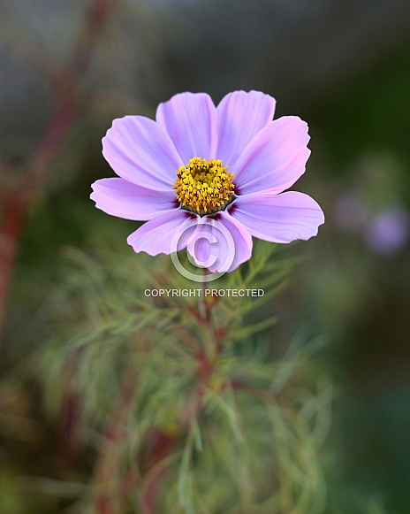 Light Pink Cosmos Flower