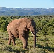 Elephant Walking. African Elephant