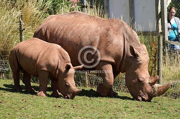 Rhino with calf