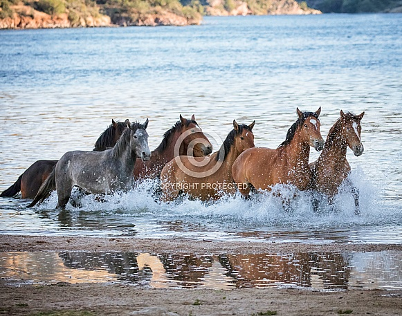 Salt River wild horses running through the water