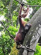 Orangutans - Mother & Baby