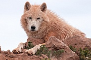 Arctic Wolf Lying Down On Rocks