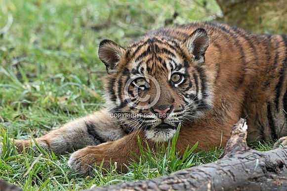 Sumatran Tiger Cub Lying Down Looking At Camera