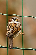 Sparrow in a fence