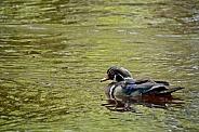 North American Wood Duck, Drake