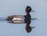 Male Goldeneye Duck