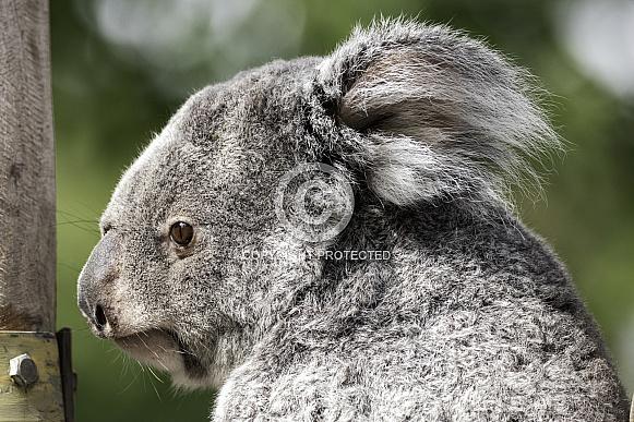 Koala Side Profile