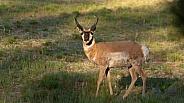 Pronghorn antelope, Antilocarpra americana