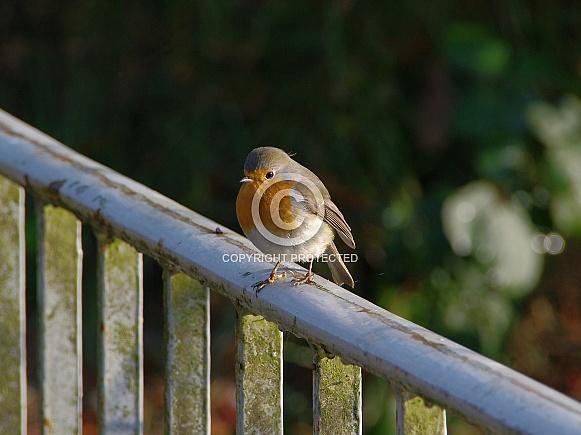 European Red robin