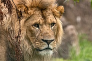 Male African Lion Close Up Looking Back