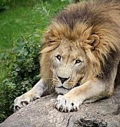 Watching Lion