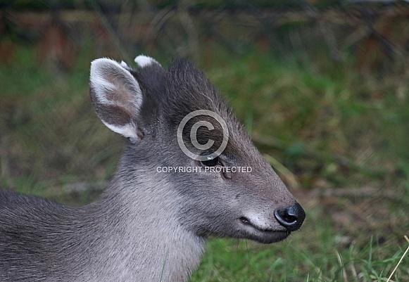 Michie's tufted Deer