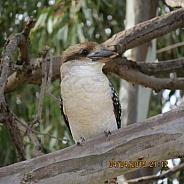 Kookaburra in gum tree 1