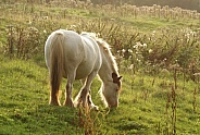 Pony grazing in evening sunlight