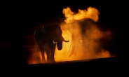 Elephant sunset dust bath