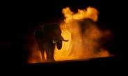 Elephant sunset dust bath