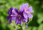 Wildflowers (petal) purple