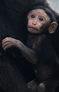 Sulawesi Crested Macaque - Baby Hugs