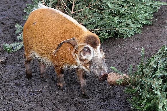 African bush pig