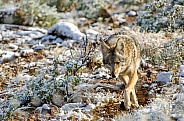 Coyote in the Desert Snow