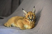 Young Caracal