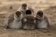 Ducklings in a row (wild).