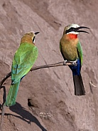 White-fronted Bee-Eaters - Botswana