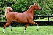 Arabian Mare Trotting