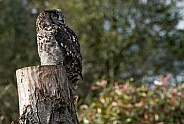 African Spotted Eagle Owl On Stump In Natural Surroundings