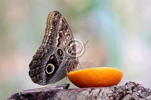 Forest giant owl butterfly on citrus
