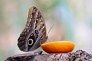 Forest giant owl butterfly (Caligo atreus)