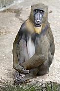 Mandrill (Mandrillus sphinx)
