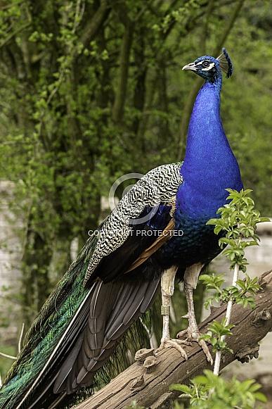 Peacock Full Body