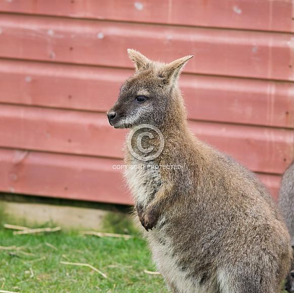 Wallabies / Wallaby