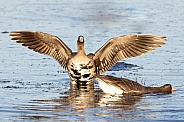 White-fronted or Specklebelly Goose Stretch