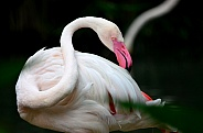 Great flamingo