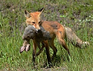 This Red Fox caught a Snowshoe Hare for lunch