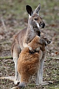 The red kangaroo (Macropus rufus)