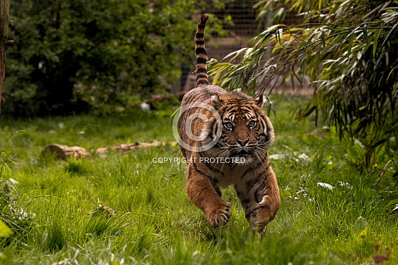 Sumatran Tiger Running Towards Camera